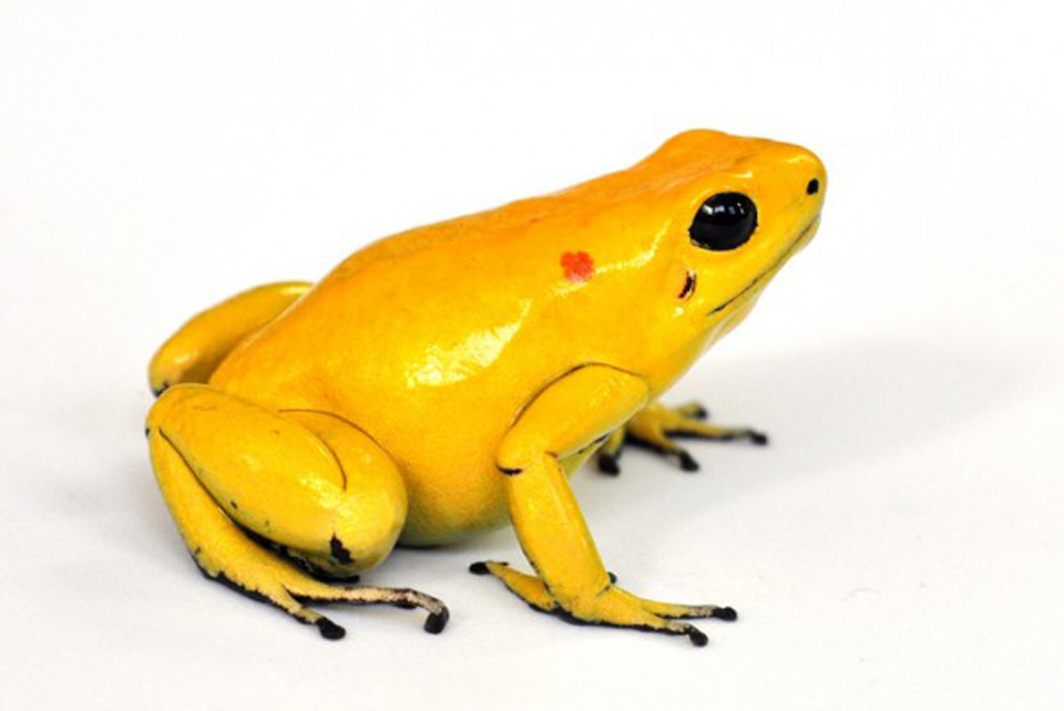 Toxicity Of Poison Dart Frogs